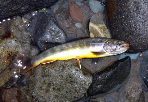 秋山郷の岩魚