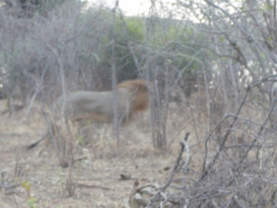 ライオン現る