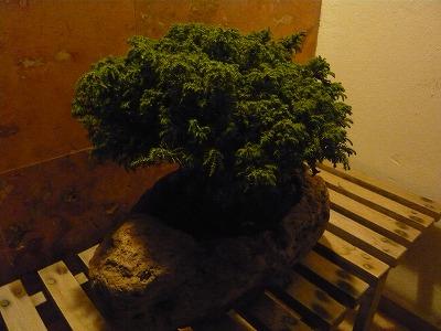 橋本さんちの盆栽
