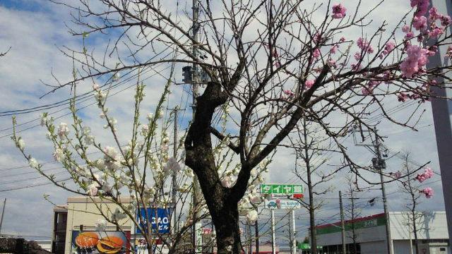 201104281328000 とんた桜