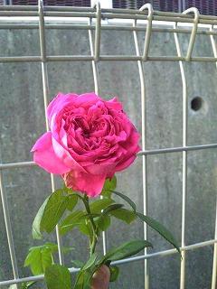 D真っ赤なバラ