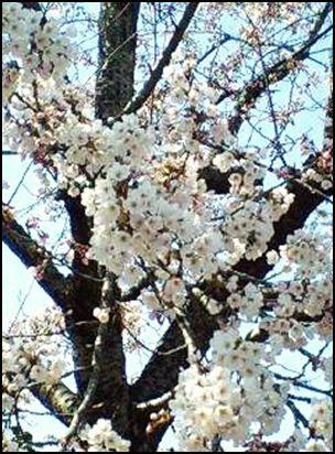 100425公園桜③
