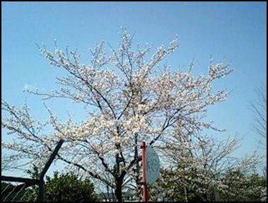 100425公園桜①