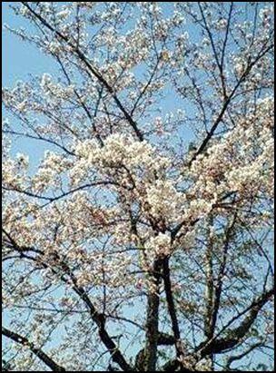 100425公園桜②
