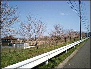 100425土手桜②