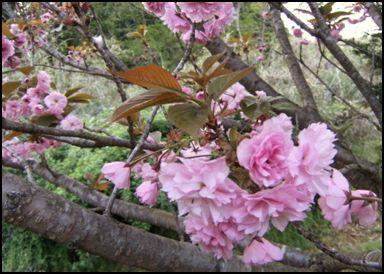 100508八重桜③