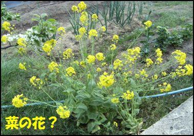 100508菜の花