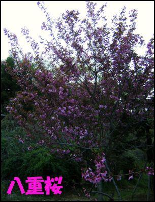 100508八重桜①