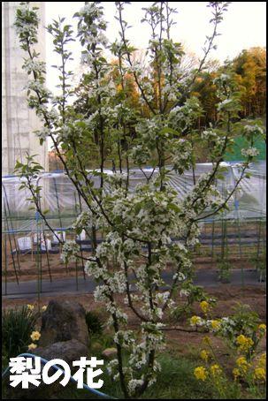 100508梨の花①