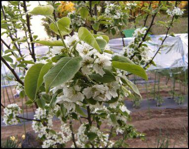 100508梨の花②