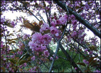 100508八重桜④