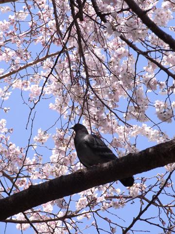 sakura ueno-3