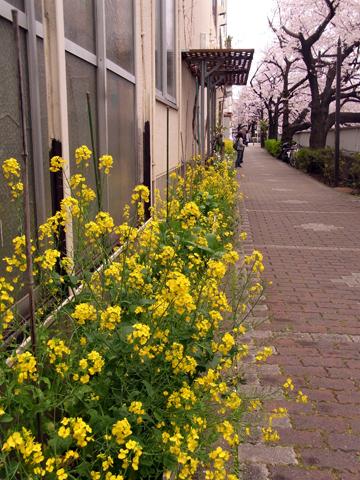 sakura waseda-5