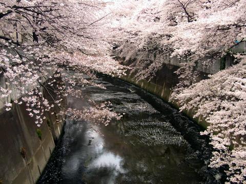 sakura waseda-6