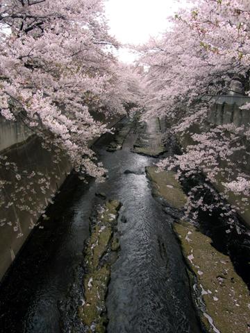sakura waseda-3