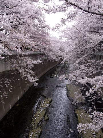 sakura waseda-4