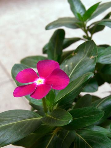 cairo flower periwinkle.jpg