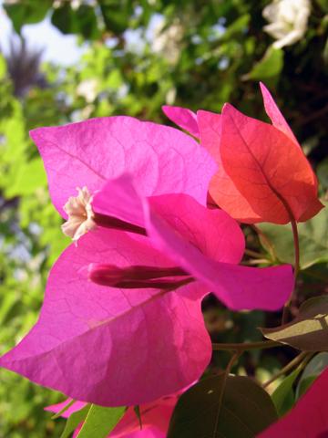 cairo flower bougenvillea