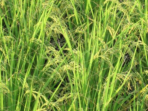 普通の稲も大きく