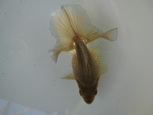 7月分譲魚-3
