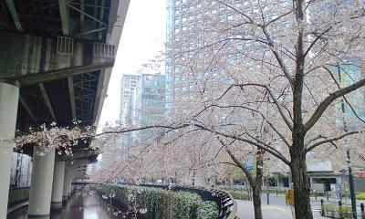 寒の戻りの中、桜