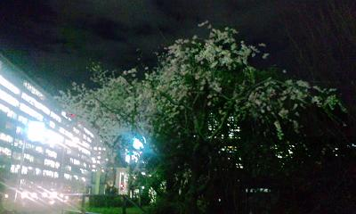 夜桜in大都会