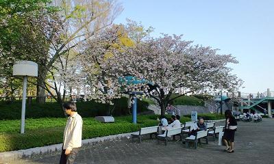 これは桜か?in府中