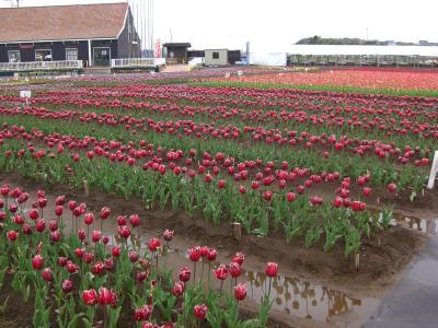 Tulip Fair2