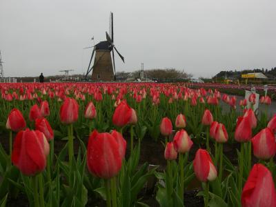 Tulip Fair3