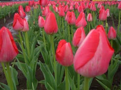 Tulip Fair5