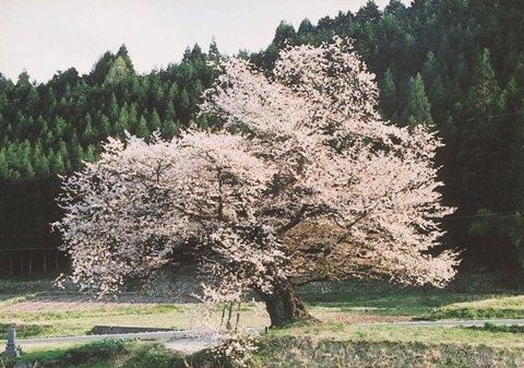 尾所の桜(満開)