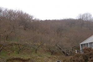 津山市神代梅の里公園梅開花状況(平成23年2月24日現在)