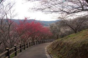 津山市神代梅の里公園梅開花状況(平成23年3月24日現在)