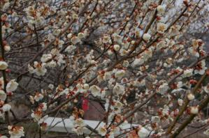 津山市神代梅の里公園の梅開花状況(平成23年3月28日現在)