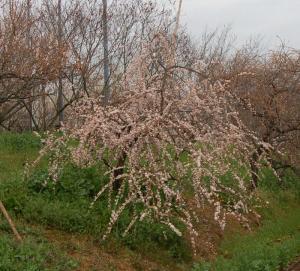 津山市神代梅の里公園梅開花状況(平成23年4月8日現在)