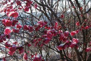 津山市神代梅の里公園梅開花状況(平成23年3月4日現在)
