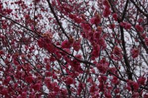 津山市神代梅の里公園梅開花状況(平成23年3月11日現在)