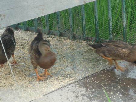 えさを食べる鴨