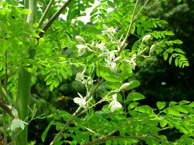 モリンガ花