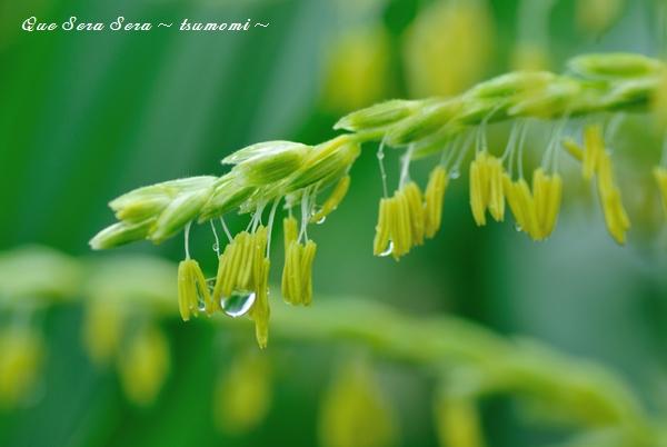 雨雫のとうもろこしの雄花