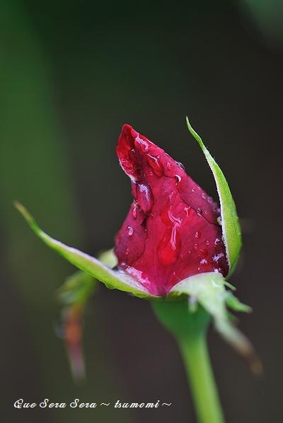 赤バラのつぼみも濡れて・・・
