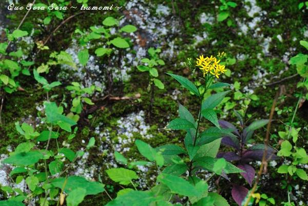 黄色い花…名前がわからない