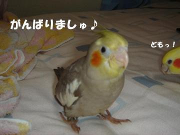 ピコちゃんヒナ