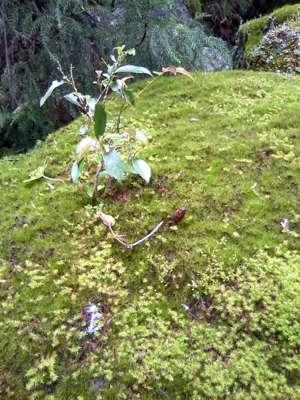 岩に苔と木の芽