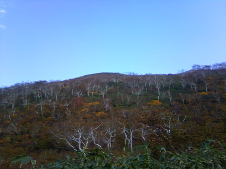ダケカンバの紅葉