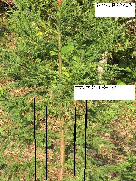 スギ 003台杉