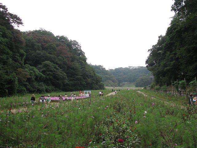 くりはま花の国コスモス園1013