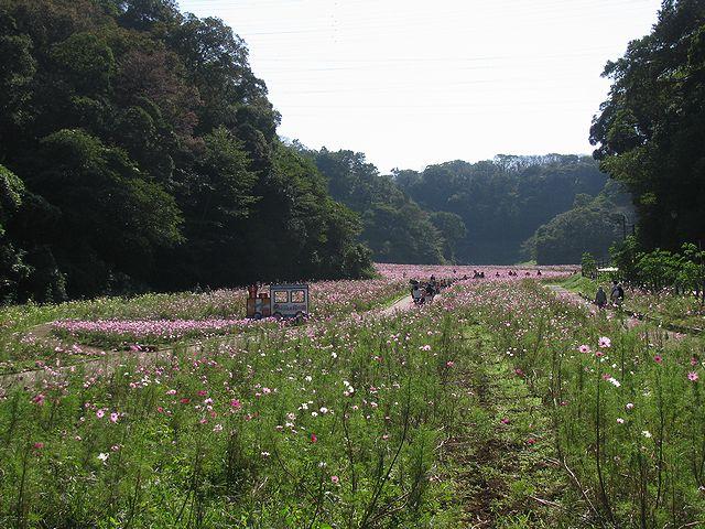くりはま花の国・コスモス園