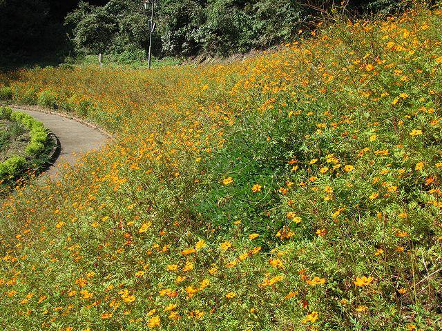 第二駐車場側入口の斜面に咲くキバナコスモス