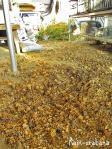 枯れて落ちた毬花